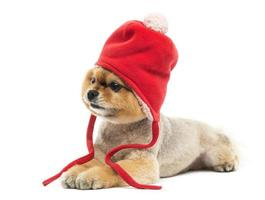 Grommed Pomeranian dog lying and wearing a red bonnet