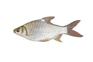 The silver barb or Java barb.