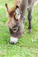 pequeño burro