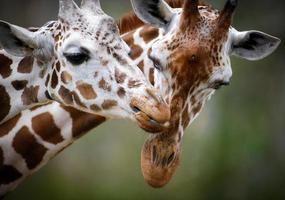 Two Giraffes Showing Love