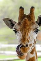 Closeup shot of Giraffe photo