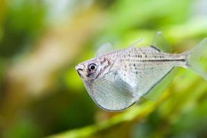 Aquarium fish. Macro view.