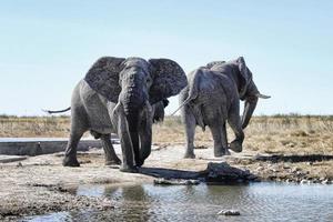 elefantes en etosha foto