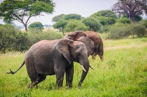 Elefantes caminando en el parque Tarangire, Tanzania foto