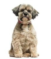 Front view of Lhasa apso sitting, looking at the camera