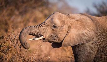 elefante de alimentación foto
