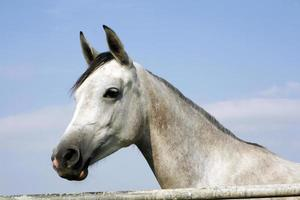 Close-up of youngster racing horse in the field photo
