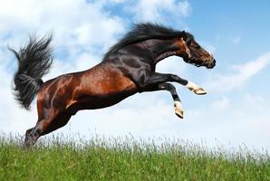 arabian stallion jumps photo