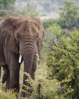 elefante africano en la naturaleza foto