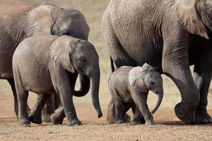 troupeau d'éléphants d'Afrique