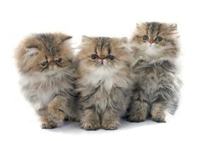 gattino persiano