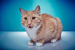 gato pedigrí de pelo rojo está maullando foto