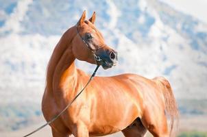 chestnut arabian stallion portrait