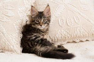Maine coon kitten between pillows