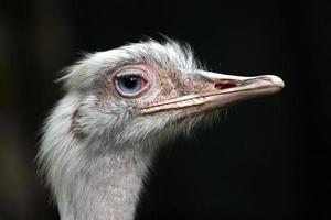 Ostrich eyes photo