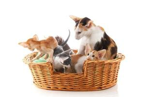 Little Siamese kittens and mother cat photo