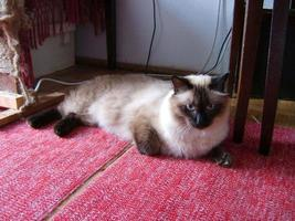 Male Siamese cat sitting on a carpet photo