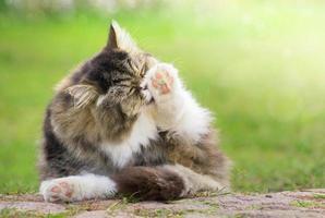 Gato peludo gris limpiado al aire libre en el jardín verde