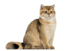 British shorthair sitting, isolated on white photo