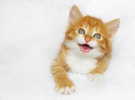 kitten meows photo