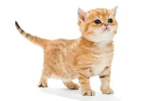 Little kitten breed British photo