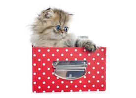 persian kitten photo