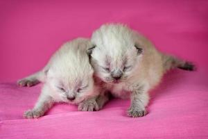 Adorable newborn blinding kittens on pink blanket photo