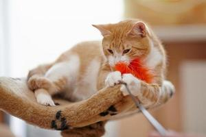 Red with white the domestic cat plays