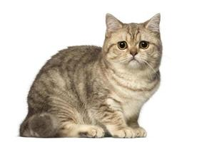 Worried British Shorthair lying and looking at the camera photo