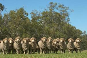 Merino Rams
