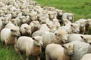 A flock of sheep being herded in a pasture photo