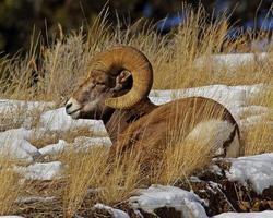Bighorn Ram Lying in Horizontal Format