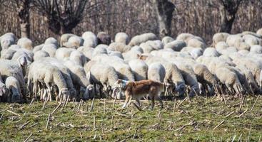 Gregge di pecore photo