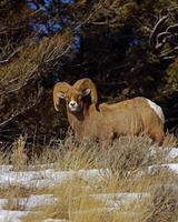 Bighorn Ram Vertical Format