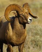 Big Horn Ram Quartering Towards Right
