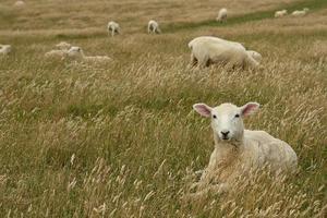moutons, reposer, herbeux, pré
