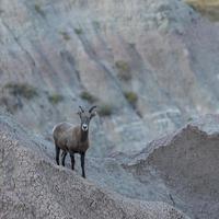 borrego cimarrón cerca de antiguos cazadores pasan por alto, parque nacional badlands, sd foto