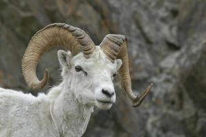 dall ram de ovejas foto