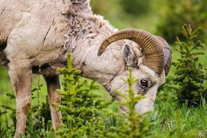 borrego cimarrón de montaña rocosa (ovis canadensis) foto