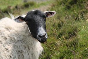 Hillside Sheep. photo