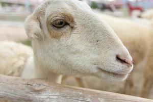 Sheep portait photo