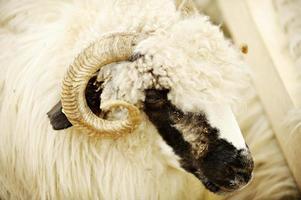 granja de ovejas foto
