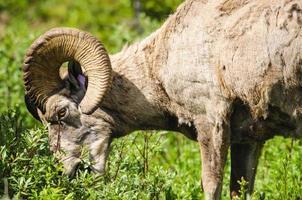 ovelha de montanha rochosa (ovis canadensis)
