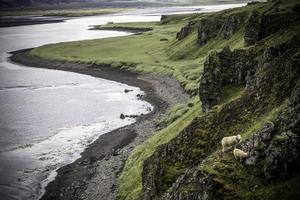 Grazing Sheep photo