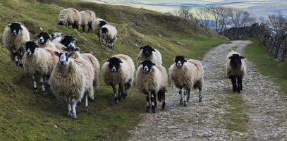 camino de ovejas foto