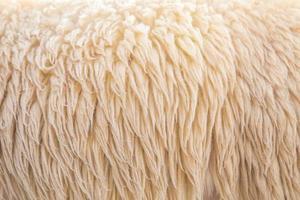 oveja de lana foto