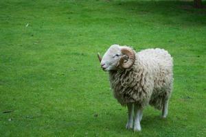 ram sheep photo