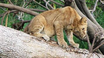 Lion Cub, Masai Mara National Reserve, Kenya, No People, Wildlife