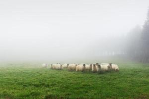 flock of sheep on foggy day photo