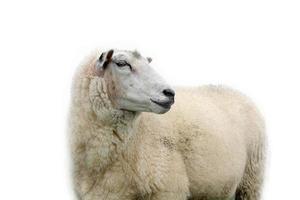 Sheep isolated..